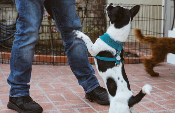 Dog jumping on person with blue jeans