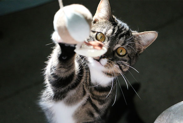 Cat playing with a ball on a string