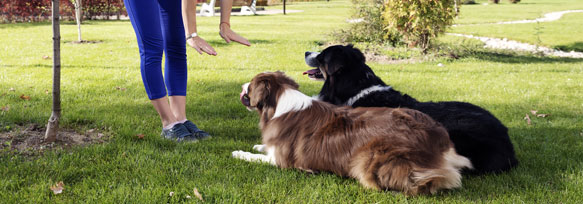 Training two dogs to lay down